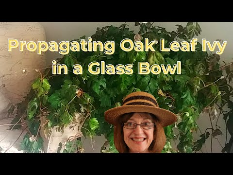Oak Leaf Ivy - Beautiful Houseplant - Care & Propagating - Non-Toxic to Pets - Rooted in Glass Bowl