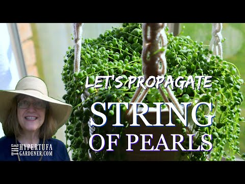 String of Pearls Let's Propagate and See What Works Best - Trying 3 Methods