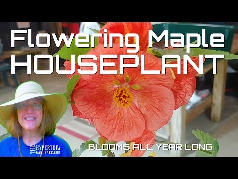 Houseplant that Flowers All Season - Flowering Maple Plant