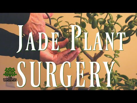 Jade Plant Surgery -Jade Plant Pruning Again? But it's too top heavy!