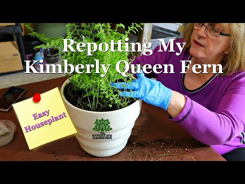 Repotting Kimberly Queen Fern - She Started Out In A Hanging Fish Bowl!