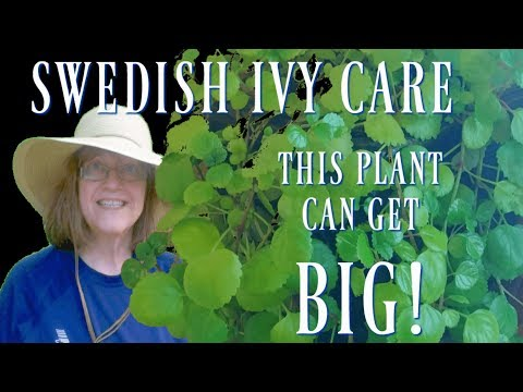 Swedish Ivy Care - Big, Easy, Fast-Growing Houseplant