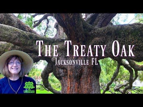 The Sprawling Treaty Oak in Jacksonville FL