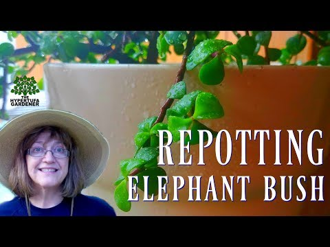 Re-Potting Elephant Bush Plant - New Pot for the Mother Plant