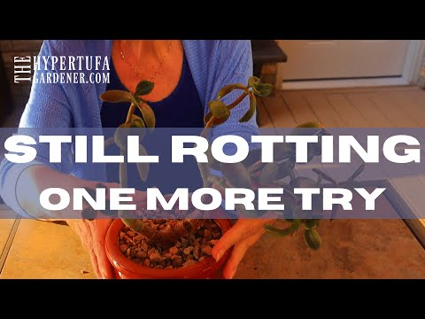 ROT or ROOT - My Final Attempt to Rescue Jade Plant - Will This Work?