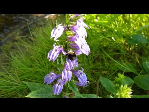 😍 Great Blue Lobelia and Its Pollinator