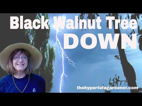 Goodbye! Black Walnut Tree Down