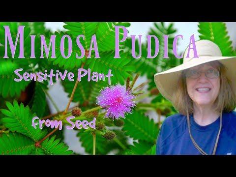 Mimosa Pudica Sensitive Plant - The Hypertufa Gardener
