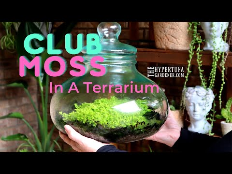 Club Moss in My Terrarium! and Peacock Fern in the Aquarium/Terrarium - It is Mossy & Ferny Here!