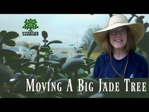 Moving A Big Jade Tree Plant