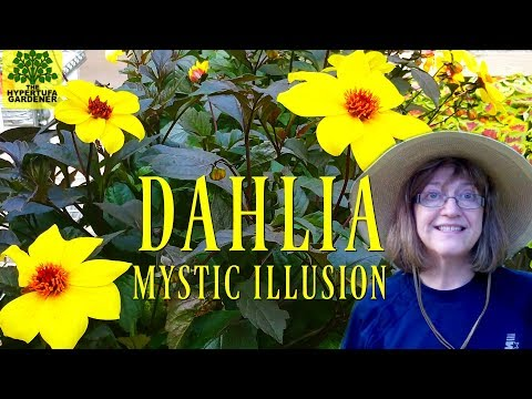 "Dahlia ""Mystic Illusion"" - Planting In My Garden Today"