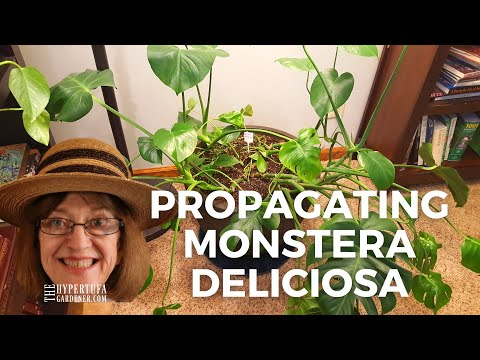 Propagating Monstera deliciosa - Where Do You Cut? What Does A Node Look Like? I'll Try and Help