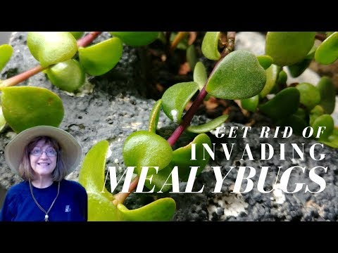 Mealybugs - Invading Cotton Balls on Mini-Jade Plant - Try This Homemade Remedy!