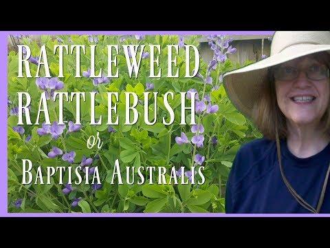 Rattleweed or Rattlebush - Baptisia australis - Blue False Indigo Plant