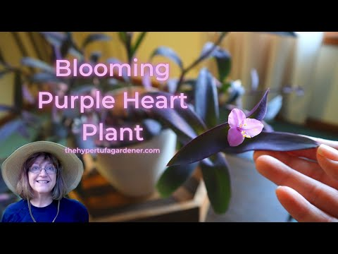 Easy Houseplant - Purple Heart Plant - Tradescantia pallida - Roots & Grows Easily & You Get Blooms!