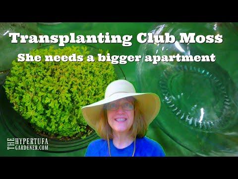 Transplanting Club Moss - She Needs A Bigger Apartment!
