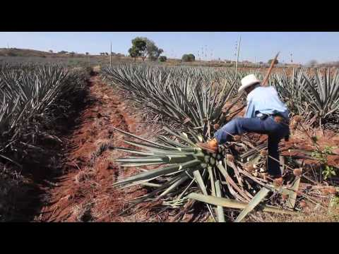 Making tequila, harvesting a blue agave plant in Mexico