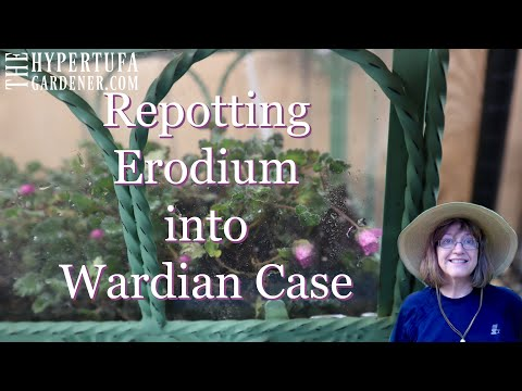 Saving The Erodium In A Wardian Case - Great Little Plant for A Terrarium