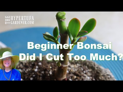Plant Update: Tiny Bonsai Jade Plant A Beginner's Trim Up