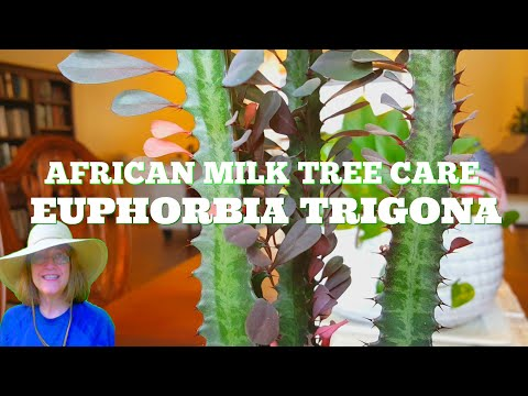 African Milk Tree Care - These Grow Really Fast - 5 inches to 15 inches in 8 months!