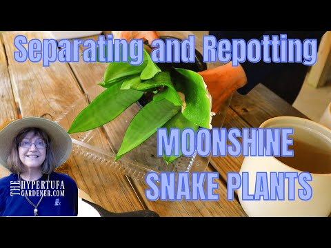 Separating Moonshine Pups - 3 Pots of Moonshine Snake Plants Now! Moonshine Snake Plants Easy Care