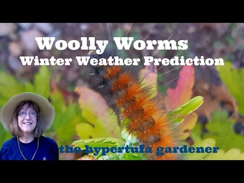 2nd Annual Woolly Worms Weather Prediction from The Hypertufa Gardener