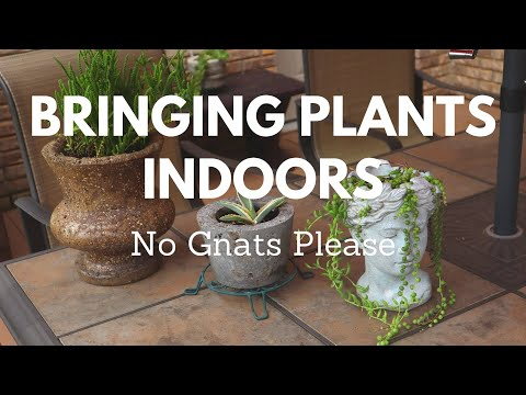 Bringing Plants Indoors - Treating for Gnat Control Systemically Has Been Best for Me!