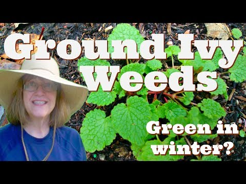 How To Stop Ground Ivy Weeds - It's Green All Winter