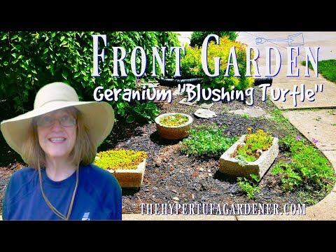 "My Front Garden Planting 💐- Geranium ""Blushing Turtle"""