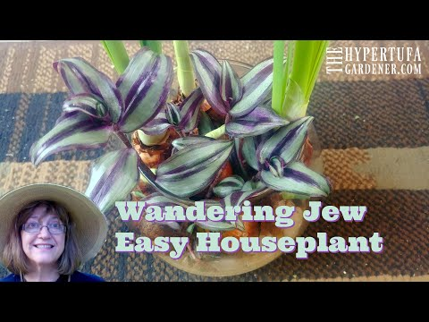 Wandering Jew- Easy Houseplant for Beginners - Propagates Easily