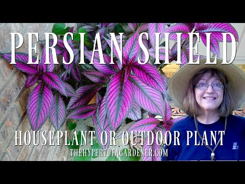 Persian Shield - Outdoors or Houseplant - It's Beautiful!