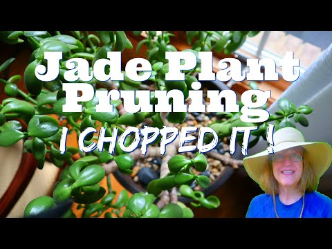I Chopped It Up - Jade Plant Care and Pruning