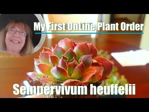 Unboxing My First OnLine Plant Order - Sempervivum heuffelii x36!