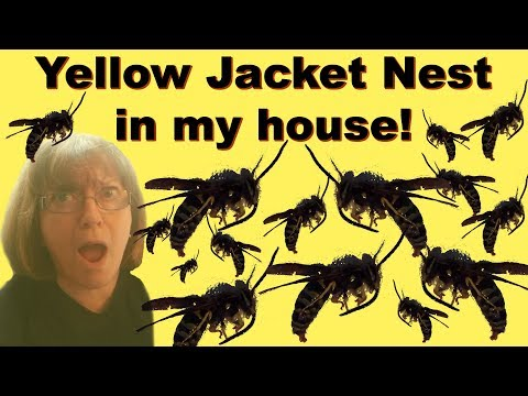 Big Yellow Jacket Nest On My House!