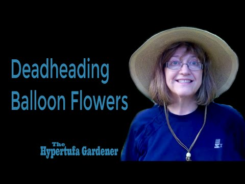 Deadheading Balloon Flowers | The Hypertufa Gardener