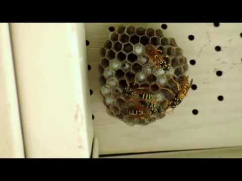 Paper Wasps Removed from Front Porch -Vacuumed Up