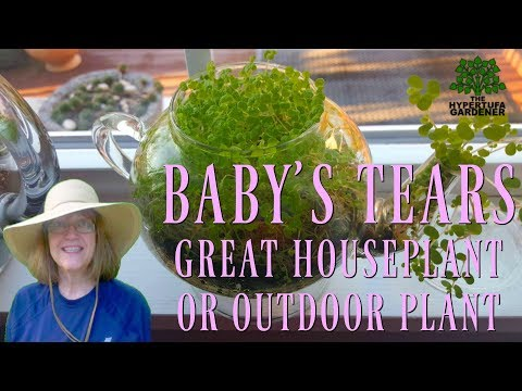 ❤️️ Baby's Tears - Houseplant or Outdoors - You'll Love It! ❤️️