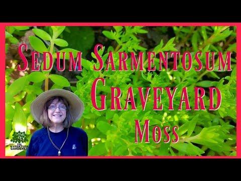 Sedum Sarmentosum - Graveyard Moss - Is It a Garden Thug?