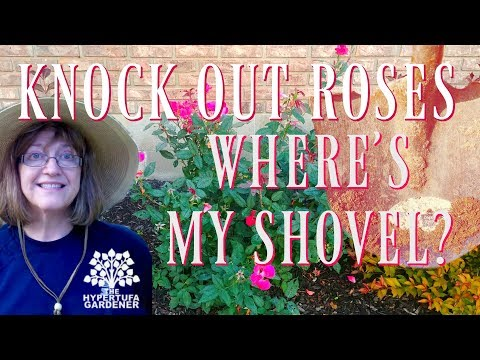 Knock Out Roses - Where's My Shovel?