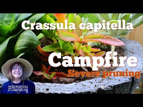 Etiolated Crassula Capitella Campfire - Let's Prune and Propagate!