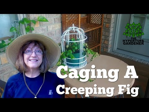 Creeping Fig - Out of Terrarium & Into A Cage!