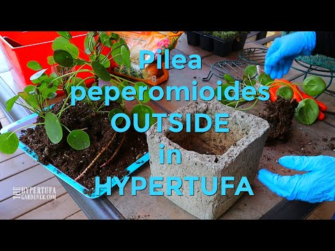 Houseplant Going Outside - Potting Up Pilea Peperomioides in Hypertufa! 😃