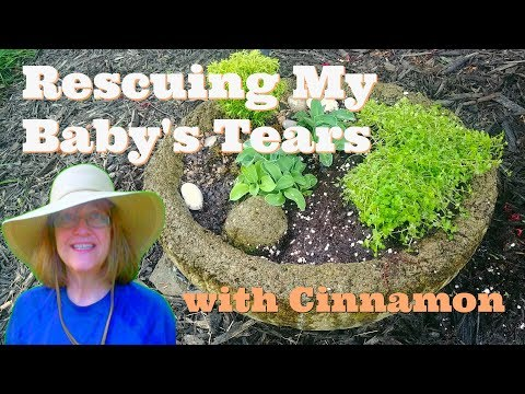 Rescued With Cinnamon! My Baby's Tears Came Back!