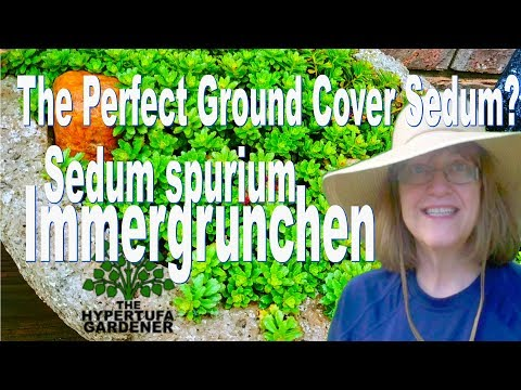 Sedum spurium Immergrunchen - Is It The Perfect Ground Cover Sedum?