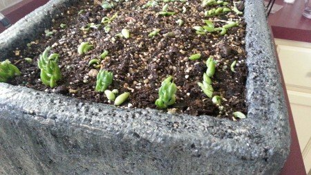 tray of cuttings-hypertufa-gardener