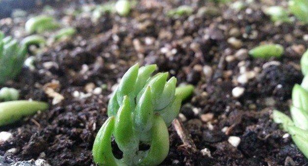 burros tail sprout - hypertufa-gardener