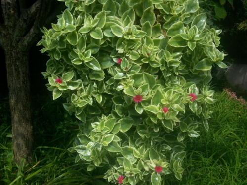 Baby Sunrose, Heartleaf Ice Plant