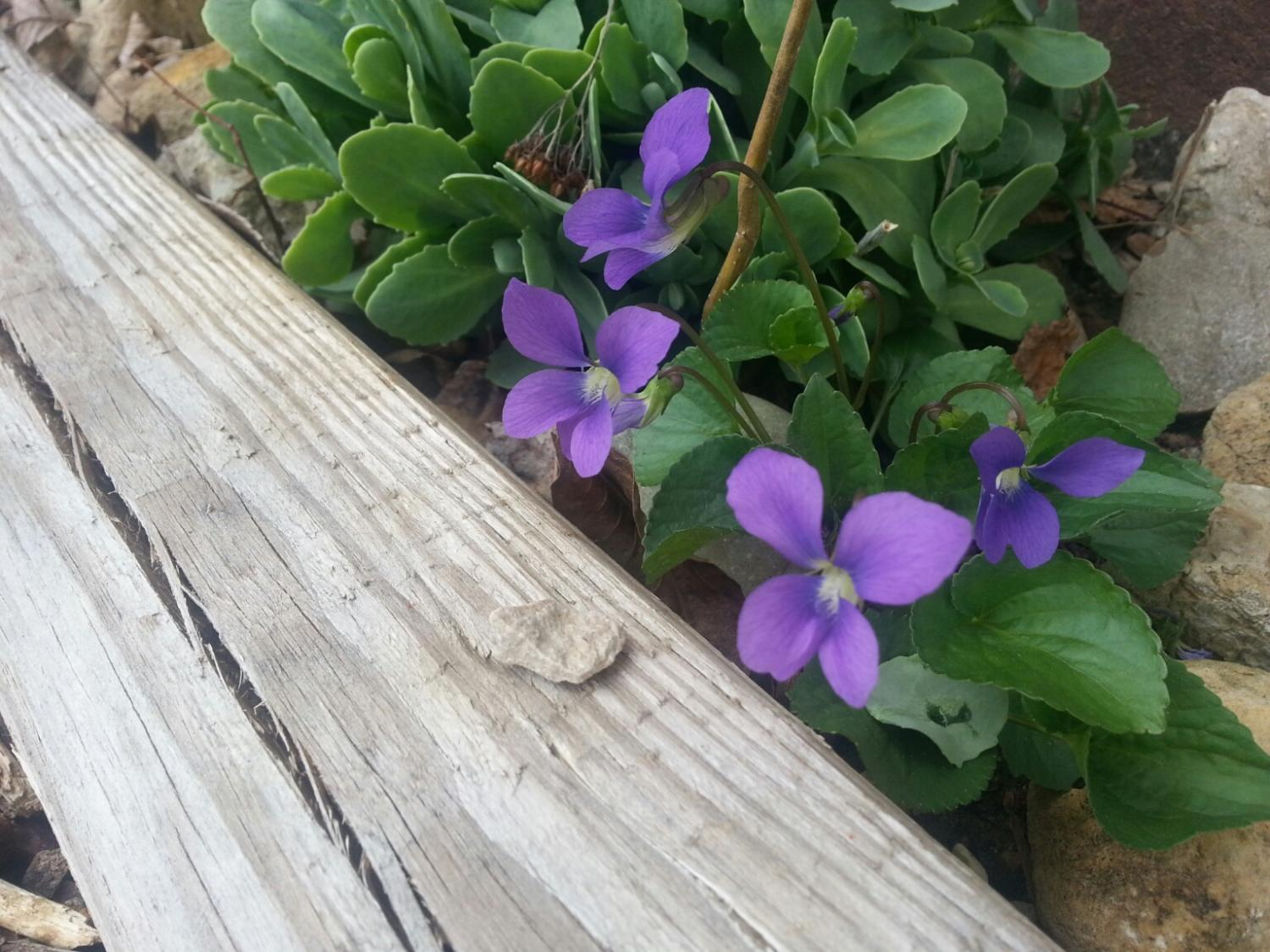Weed violet, but so pretty.