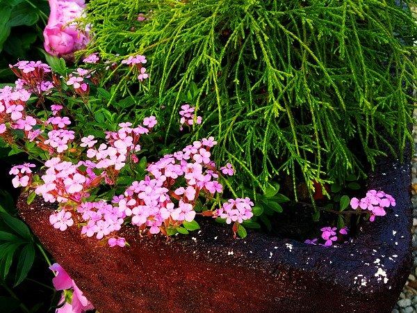 Soapwort blooming - morning in the garden