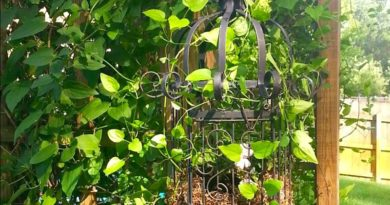Enveloped by a clematis - my bird cage planter